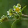 Sticky Cinquefoil (Drymocallis galandulosa var. wrangelliana)