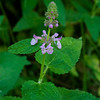 Wood mint  (Stachysbullata)   aka Hedge nettle