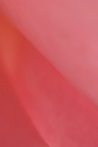 Macro rose pink 0837