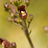 Bee plant or Coast figwort