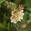 Stinging phacelia  (Phacelia malvifolia)