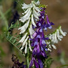 Winter Vetch   (Vicia villosa ssp. varia)