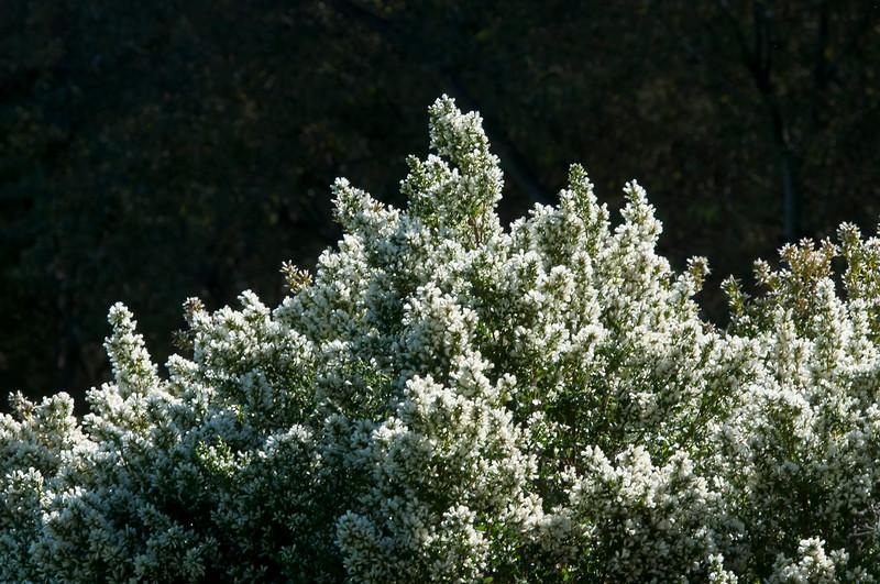 Coyote Bush  (Baccharis pilularis)  female flowers