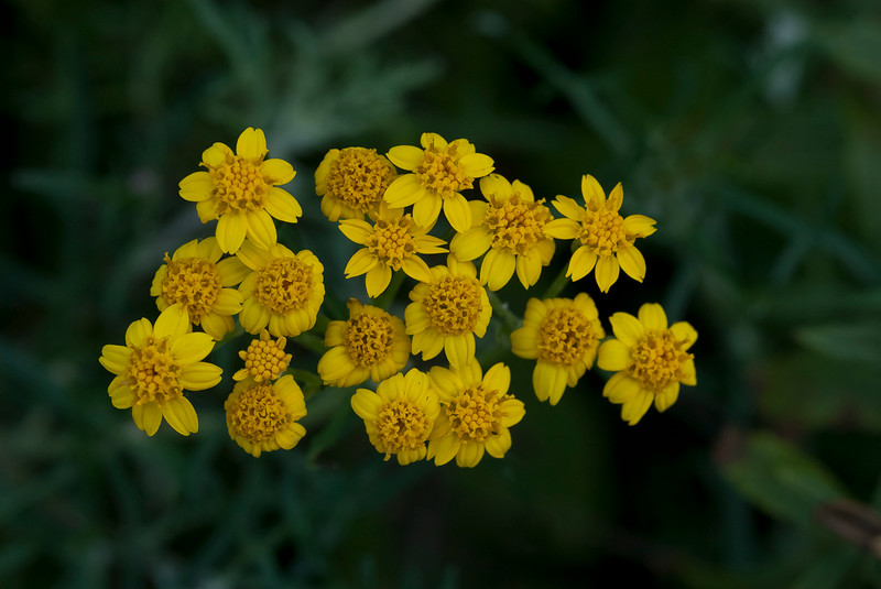Lizard-tail yarrow  (Eriophyllum confertiflorum)