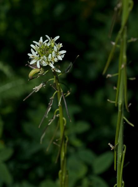 California mustard    (Caulanthus lasiophyllus)