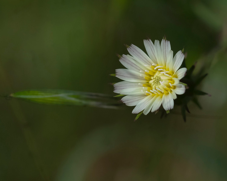 California chickory  (Rafinequia californica)