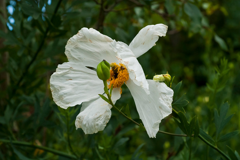 Coulter's Matilija Poppy   (Romneya couleri)