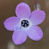 Slender-flowered gilia  (Gilia tenuiflona)