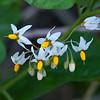 Douglas' nightshade  (Solanum douglasii)