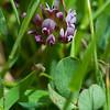 White-tipped clover  (Trifolium variegatum)