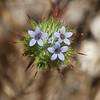 Skunkweed   (Navarretia squarrosa)