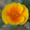 Bi-colored California poppy