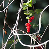 Hairy honeysuckle berries