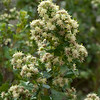 Coyote Bush  (Baccharis pilularis)  male flowers