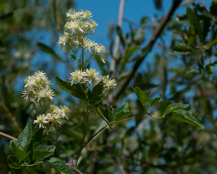 Clematis ligusticfolia