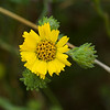 Coast tarweed
