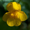 Common Monkeyflower  (Mimulus guttatus)