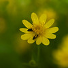 California Buttercup  (Ranunculus californius)