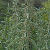 Hoary (stinging) nettles