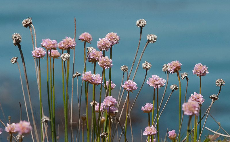 Sea pink or California thrift
