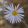 Common aster