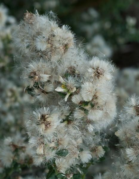 Coyote bush - Mrs. Fuzzy Wuzzy