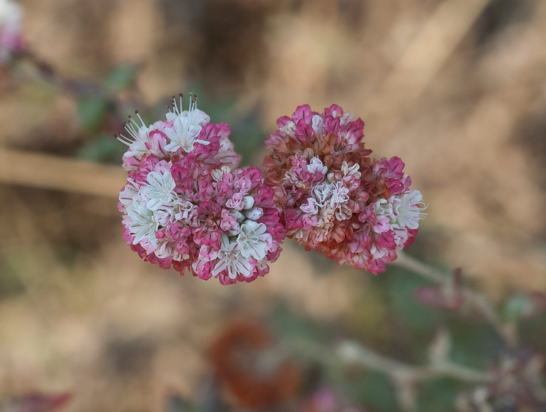 Dune buckwheat  (Eriogomun parvifolium)
