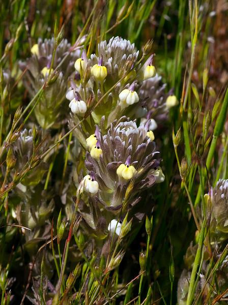 Johnny nip (Castilleja ambigua ssp. insalutata)