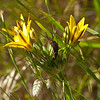 Pretty face or Harvest or Golden brodiaea (Triteleia oxides)