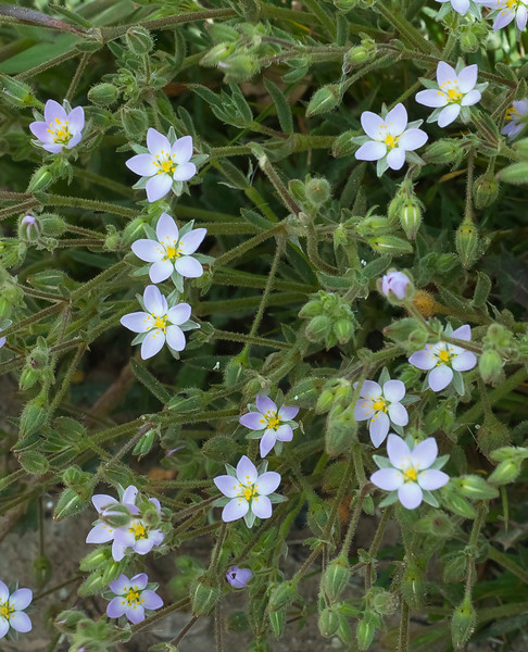 Large-flowered sand spurry (Spergularia macrotheca)