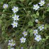 Large-flowered sand spurry (Spergularia macrotheca)