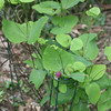 Clematis addisonii