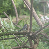 blue grey gnatcatcher in my yard