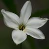 White Starflower