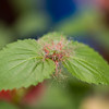 Acalypha reptans - Summer Love