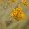 Chrysocephalum semipapposum - Yellow Buttons