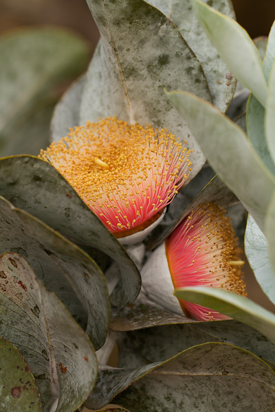 Eucalyptus Macrocarpa flowers