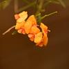 Gastrolobium involutum flowers