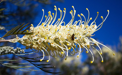 Bootlace Oak, Bottlelace tree, Hakea Lorea (Northern Queensland)