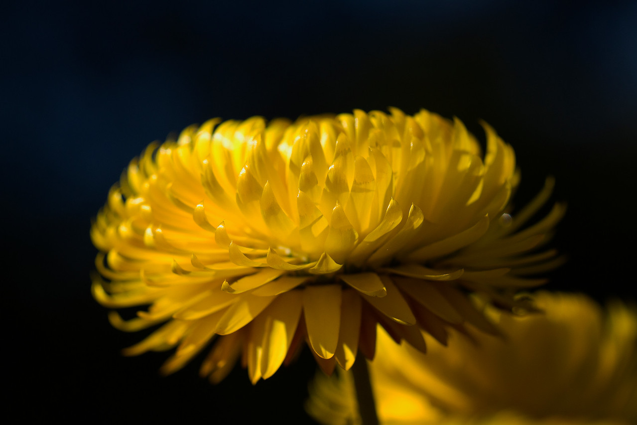 Yellow paper daisy