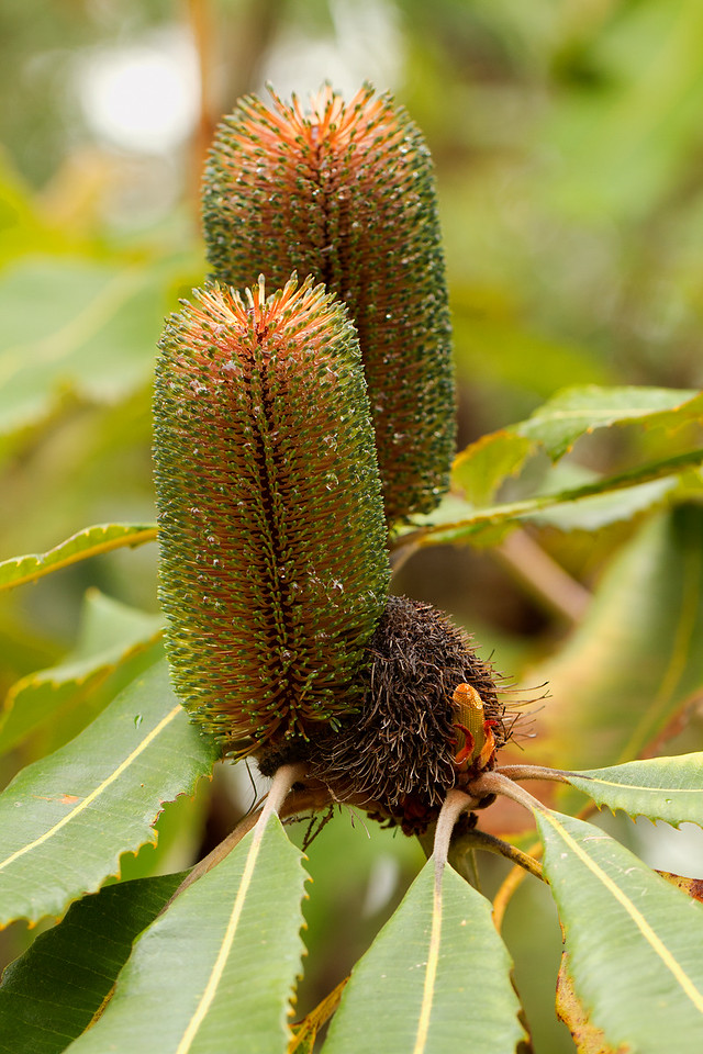 Banksia Robur - swap banksia