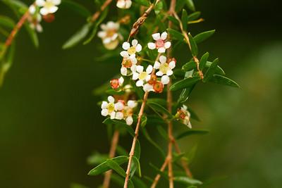 Babingtonia Pluriflora - White cascade