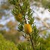 Banksia Serrata Austraflora Pygmy