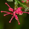 Grevillea Flower