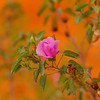 Sturt's Desert Rose flowers