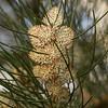 Hakea Suaveolens flowers