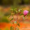 Sturt's Desert Rose flower
