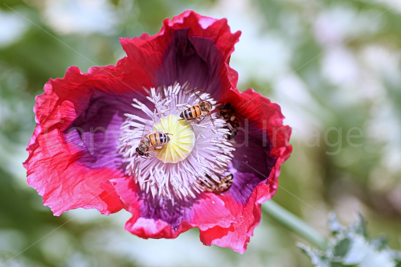 Poppy Bliss