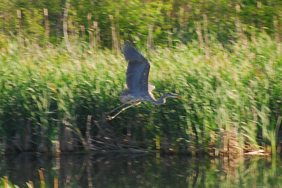 Heron in Brighton, Michigan.