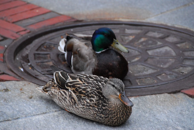 Ducks in Downtown Boston.
